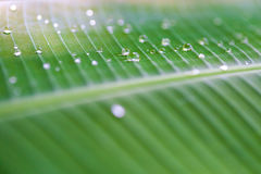 dew drops on green banana leaf Royalty Free Stock Images
