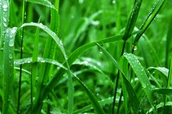 Dew drops on green grass Royalty Free Stock Photography