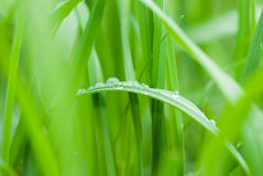Dew drops on a green grass Royalty Free Stock Image