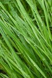 Dew drops on a green grass Royalty Free Stock Photo