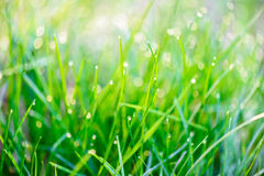 Dew drops on green grass Royalty Free Stock Photos