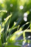 Dew drops on green grass Stock Photos