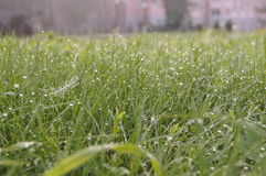 Dew drops on green grass early  a Sunny morning Royalty Free Stock Photography