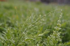 Dew drops on green grass early  a Sunny morning Stock Photo