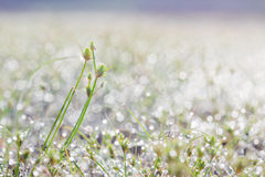 Dew drops on green grass leaf. In the morning Royalty Free Stock Photo