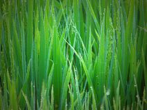 Dew Drops on Green Grass - Natural Background Stock Photos