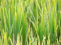 Dew Drops on Green Grass - Natural Background Stock Photo