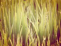 Dew Drops on Green Grass - Natural Background Royalty Free Stock Photography