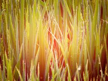 Dew Drops on Green Grass - Natural Background Stock Photography