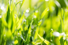 Dew drops on green grass Royalty Free Stock Images