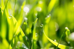 Dew drops on green grass Royalty Free Stock Image