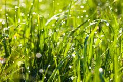 Dew drops on the green grass Royalty Free Stock Photo