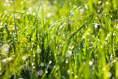 Dew drops on the green grass Stock Photography