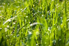 Dew drops on the green grass Royalty Free Stock Photography