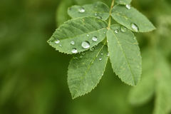 Dew drops on green leaf Royalty Free Stock Images