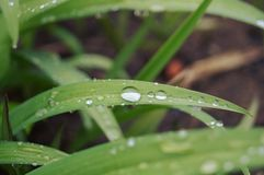 Dew drops on green leaves Stock Photography