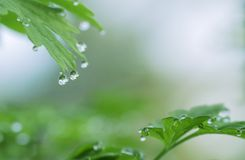 Dew drops on green leaves background Royalty Free Stock Image
