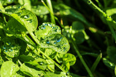 Dew drops on green leaves Stock Photos