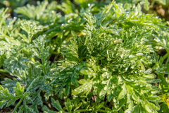 Dew drops on the green  leaves of a wormwood Stock Photos