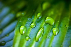 Dew drops on hosta green leaves Royalty Free Stock Photos