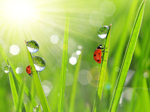 Dew drops and ladybirds closeup Royalty Free Stock Images