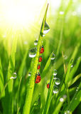 Dew drops and ladybirds. Fresh green grass with dew drops and ladybirds closeup Stock Image
