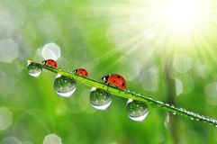 Dew drops and ladybirds Stock Photography