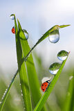 Dew drops and ladybirds Royalty Free Stock Image