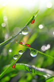 Dew drops and ladybirds Stock Photo