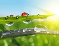 Dew drops and ladybirds Royalty Free Stock Photos