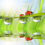 Dew drops and ladybirds. Fresh green grass with dew drops and ladybugs closeup. Natural background Royalty Free Stock Photography