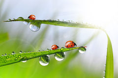 dew drops and ladybug Royalty Free Stock Photos