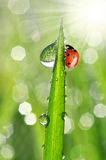 Dew drops and ladybug Stock Photos