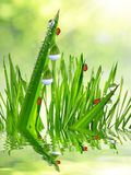 Dew drops and ladybugs Stock Photos