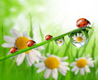 dew drops and ladybugs Royalty Free Stock Image