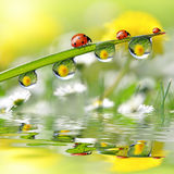 Dew drops and ladybugs Stock Photography