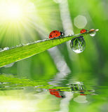 Dew drops and ladybugs Royalty Free Stock Photo