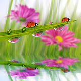 Dew drops and ladybugs Stock Image