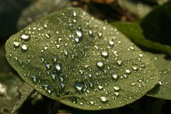 Dew drops on a leaf Royalty Free Stock Image