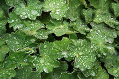 Dew drops on leaves Stock Photo