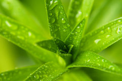Dew drops and leaves Stock Photo
