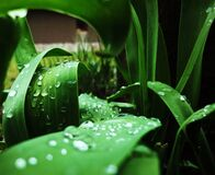 Dew drops on leaves Royalty Free Stock Photos