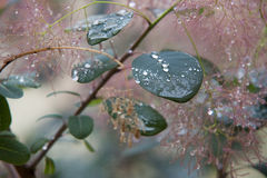 Dew drops on leaves. Dew drops on green leaves Royalty Free Stock Image