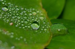 Dew drops on a leaves. Guia. Gran Canaria. Canary Islands. Spain Royalty Free Stock Photo