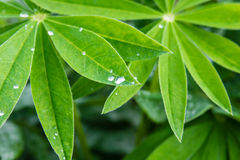 Dew drops on the leaves of lupine Stock Photos