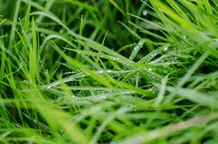 Dew drops on leaves. Morning dew on grass with blured background Royalty Free Stock Image