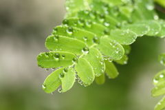 Dew drops on the leaves Stock Photo