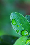 Dew drops on the leaves Royalty Free Stock Photo