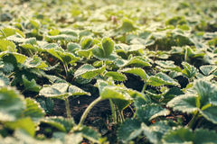 Dew drops on the leaves of strawberry Stock Photo