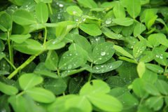 Dew drops on leaves. Dew drops on top of green leaves Stock Photo